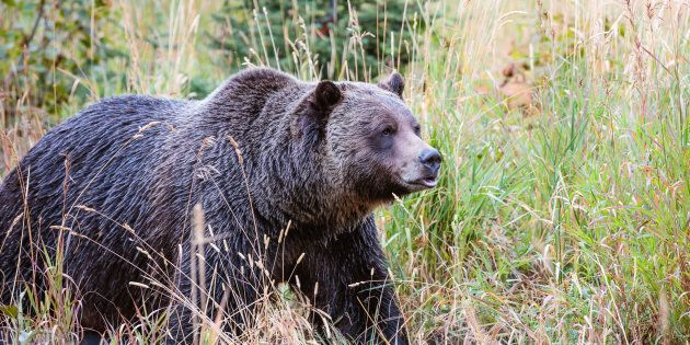 A grizzly bear is pictured in Banff National Park in