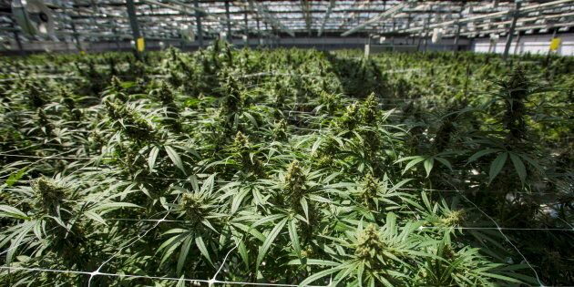Mature cannabis plants are photographed at the CannTrust Niagara Greenhouse Facility during the grand...