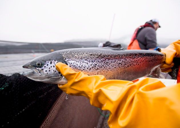Department of Fisheries and Oceans audit fish health near Campbell River, B.C. on Oct. 31,