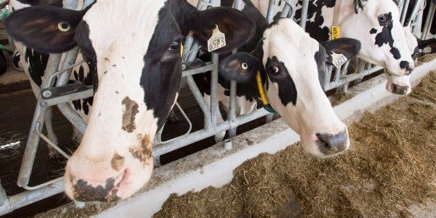 Dairy cows at a farm on Aug. 31, 2018 in Sainte-Marie-Madelaine