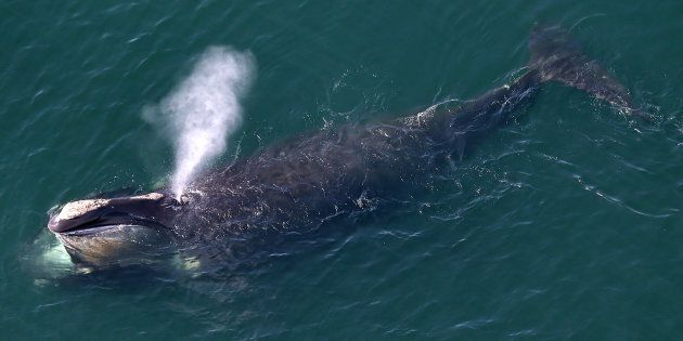 An aerial view of a right whale erupting from the blow hole while feeding off the shores of Duxbury