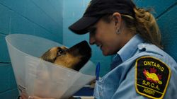 Ontario SPCA's Police Powers Are Unconstitutional, Judge