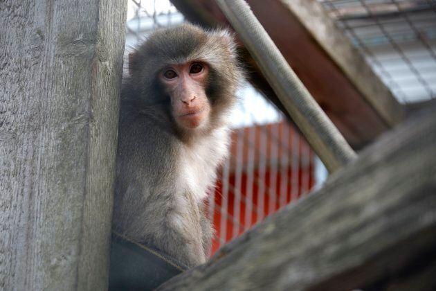 Darwin at the Story Book Farm Primate Sanctuary in Sunderland on November 27, 2014.