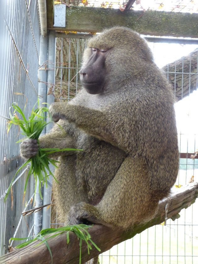 Pierre, an olive baboon, is Darwin's new