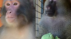 Darwin The Ikea Monkey Has A New Baboon 'Surrogate