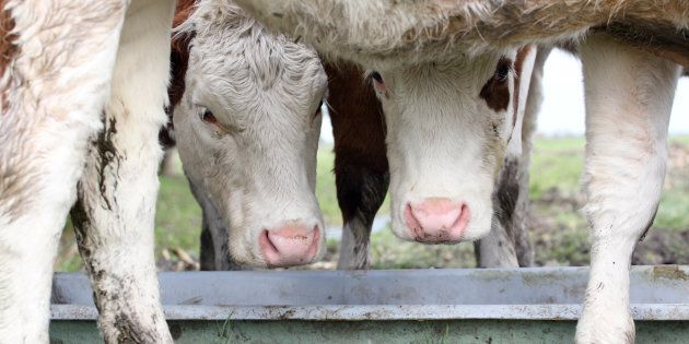 Two cows in a field, eating from a trough.