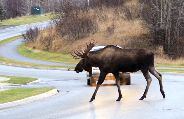 Roadkill Laws Vary Across Canadian Provinces And