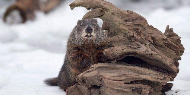 Shubenacadie Sam looks around after emerging from his burrow at the wildlife park in Shubenacadie, N.S....