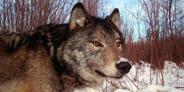A wolf is seen in a 2008 handout photo from a trap camera in Isle Royale National Park,