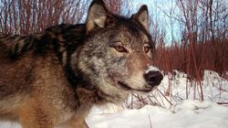 U.S. Betting On 'Robust' Canadian Wolves To Control Moose