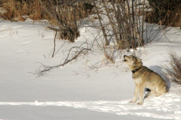 A gray wolf is shown on Isle Royale National Park in northern Michigan on Feb. 24,
