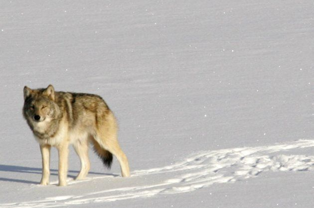 A gray wolf is shown on Isle Royale National Park in northern Michigan, Feb. 24,