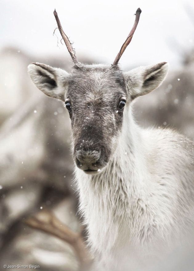 Woodland caribou are designated as