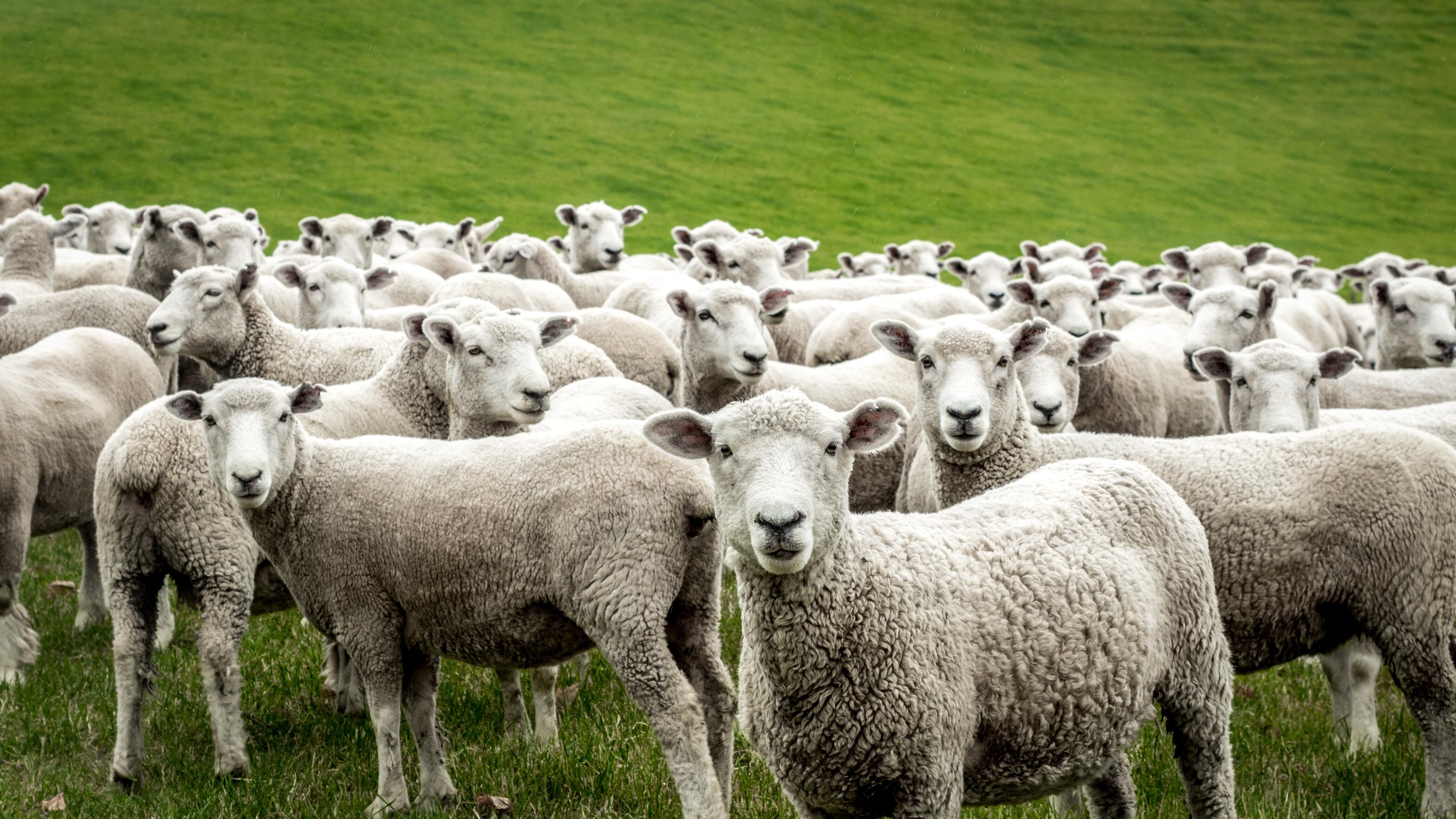 Iscrivono 15 pecore a scuola: l'iniziativa in Francia per evitare la chiusura di una