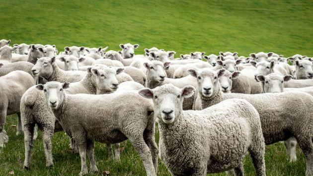 Iscrivono 15 pecore a scuola per evitare la chiusura di una