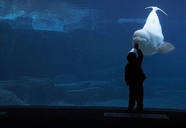 Beluga whale (Delphinapterus
