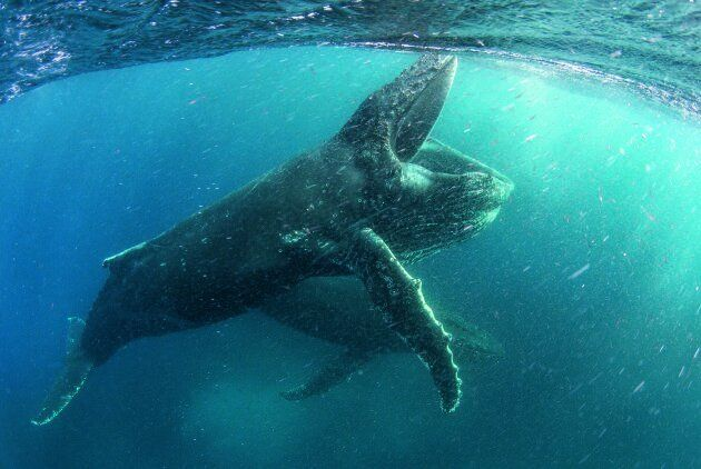 These humpback whales are not having a whale of a time with the effects of climate change on biodiversity.