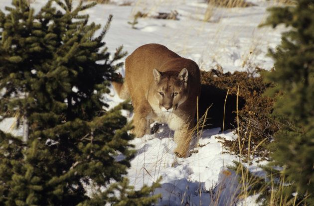 Cougar in the snowy alpine in British,