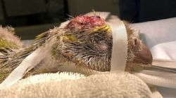 Νέα Ζηλανδία: Σπάνιος κακάπος υπεβλήθη σε επέμβαση στον εγκέφαλο για πρώτη φορά