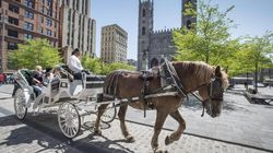 Montreal Carriage Horses Need New Homes As Industry Shuts