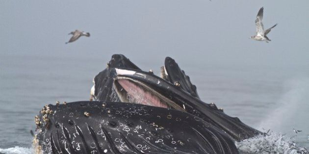 Humpback Whale lunge feeding on a bait ball of Californian anchovy (Engraulis mordax) some half-dozen...