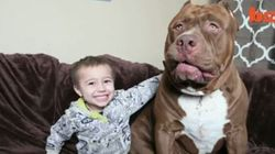 Hulk The Giant Pit Bull Is 175 Pounds Of