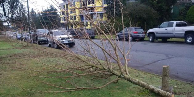 Vancouver Maple Trees Illegally Cut Down In The Middle Of The