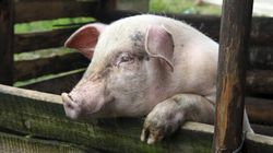 More Than 2,000 Pigs Killed In Ontario Barn