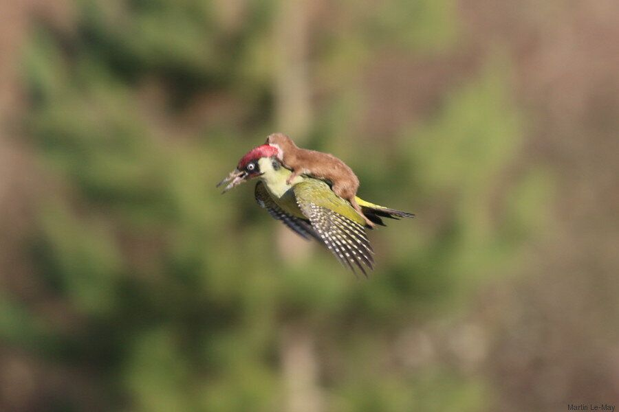 Weasel Rides Woodpecker Into Internet