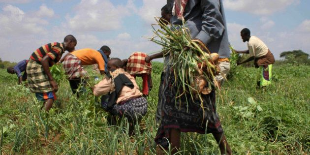 In this Nov. 21, 2011 photo, residents harvest crops at a community-run farm, which receives assistance...