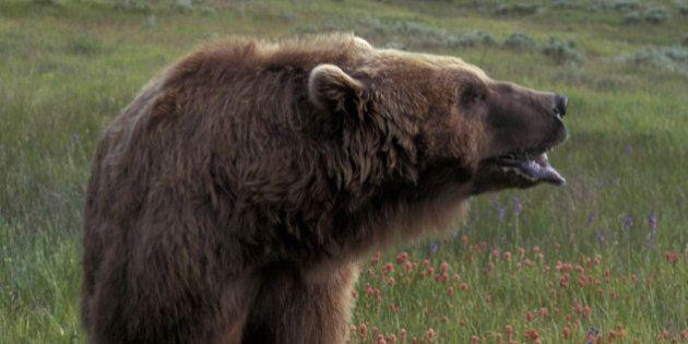 Man Mauled By Bear In Fernie, B.C., Shot In Rescue