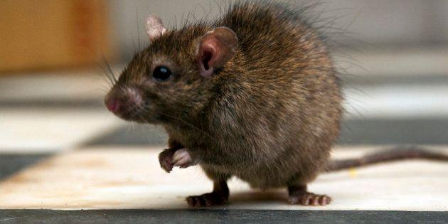 Alberta's Rat-Free Status Still Intact, Says