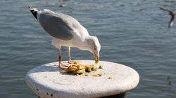 Garbage Diet Slashes Southern B.C. Seagull