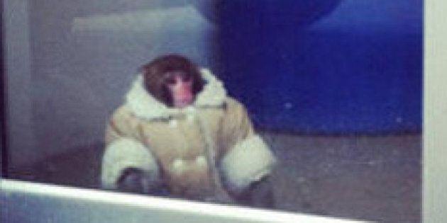 Ikea Monkey Darwin's Former Owner Buys 2 New