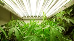 Canada's Medical Pot Growers Aren't Telling Us