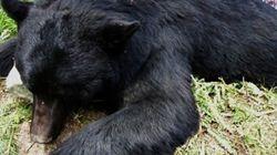 Basically, One Man Is Responsible For Eradicating Bears In Pitt River