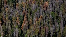 Mountain Pine Beetles Are Closer To Being