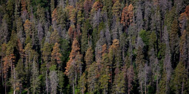 Dead and dying pine trees, infested by mountain pine beetles, stand in this aerial photograph taken above...