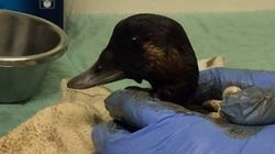 Rescued Birds Are Still Filthy After Vancouver Oil