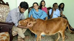 World's Shortest Cow Is No Bigger Than A