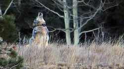 B.C. To Hunt Wolves By Helicopter To Save Endangered
