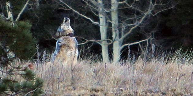 This Oct. 27, 2014 photo from the Arizona Game and Fish Department shows a gray wolf that was spotted...