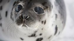 Canada's Commercial Seal Hunt Is the Shame of Our