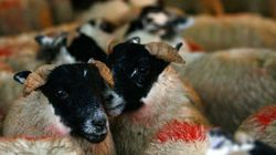 $40,000 Worth Of Slaughtered Lambs From Edmonton Found In