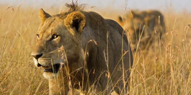 Close up of male lions on the prowl through high grass - Masai Mara,