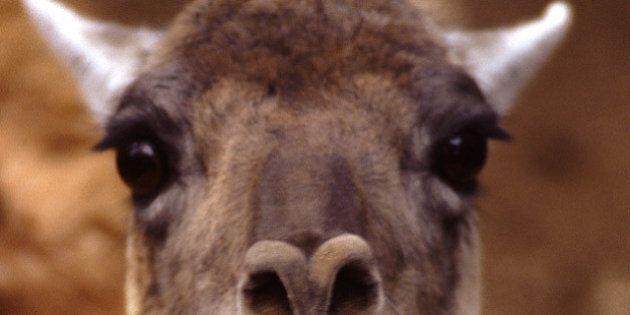 Escaped Llama Safe 'After Some Negotiation': Surrey