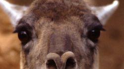 Llama Drama In