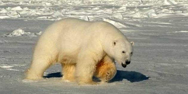 This handout photo provided by the US Geological Survey, taken in 2005, shows a male polar bear approaching...