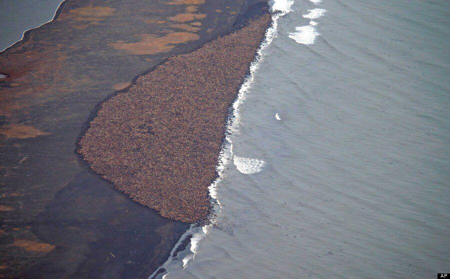 35,000 Walruses Huddle On Alaska Beach Due To Lack Of Sea Ice