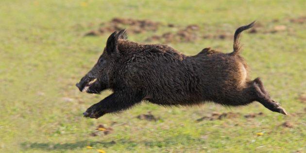 Boar Bounty Extended In